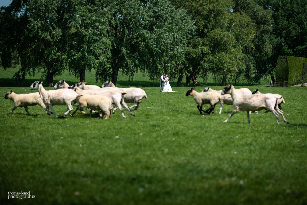 Bride and groom portrait photography with sheep at Talton Lodge